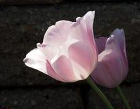 Tulip In Full Bloom rosada foto de archivo