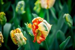 Tulip Garden Image libre de droits