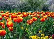 Tulip Garden. In the springtime Royalty Free Stock Photography