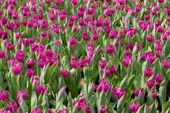 Tulip Garden foto de archivo libre de regalías