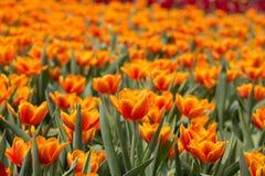 Tulip Garden fotografía de archivo libre de regalías