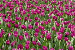 Tulip Garden fotos de archivo libres de regalías