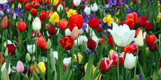 Tulip Garden. A colourful Tulip garden in the spring Stock Photos