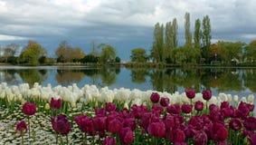 Tulip Garden. A colorful Tulip garden in the spring Royalty Free Stock Photography