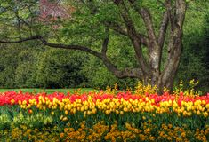 Tulip Garden. Springtime Tulip garden with blooming flowers royalty free stock photography