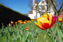 Tulip garden Royalty Free Stock Image