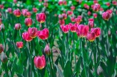 Tulip Garden Foto de archivo