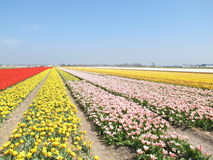 Tulip Garden stockfotografie