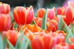 Tulip Garden Fotografie Stock