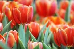 Tulip Garden Immagini Stock