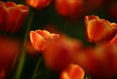 Tulip garden Royalty Free Stock Images