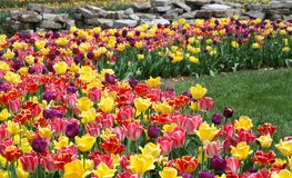 Tulip Garden. With Bright Yellow, Red, and Purple Tulips Royalty Free Stock Photography