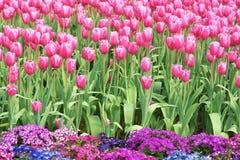 Tulip Garden Images stock