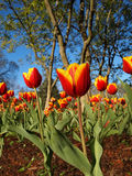 Tulip Garden Photo stock