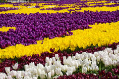 Tulip Garden Photos stock