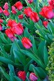 Tulip Garden Fotografia Stock