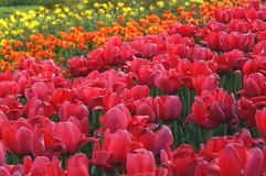 Tulip Garden. Tulips in flowerbed Royalty Free Stock Photos