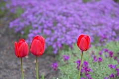 Tulip Garden Fotos de Stock