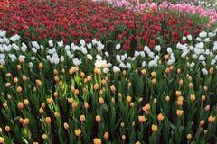 Tulip Garden Immagine Stock Libera da Diritti