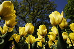 Tulip garden Royalty Free Stock Photos