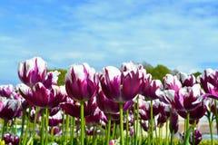 Tulip. Garden in beautiful big park Stock Image