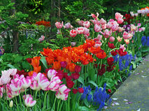 Tulip garden Royalty Free Stock Photos