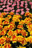 Tulip garden Royalty Free Stock Photo