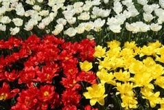 Tulip garden Stock Image