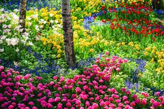 Tulip garden. Colorful tulip flowers in garden in spring Royalty Free Stock Photography