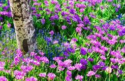 Tulip garden. Colorful tulip flowers in garden in spring Stock Photos