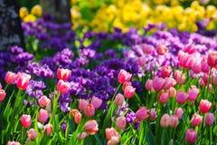 Tulip garden. Colorful tulip flowers in garden in spring Stock Photo
