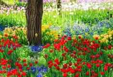 Tulip garden. Colorful tulip flowers in garden in spring Royalty Free Stock Photos