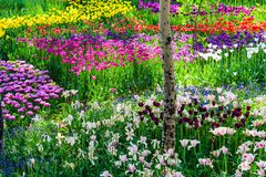 Tulip garden. Colorful tulip flowers in garden in spring Royalty Free Stock Images