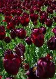 Tulip garden. Dark red tulips in the botanic garden in Madrid. Sunny day Royalty Free Stock Photography