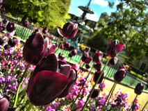 Tulip Garden em Christchurch Foto de Stock Royalty Free