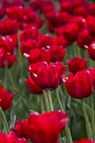 Tulip Garden. The tulip is a Eurasian and North African genus of perennial, bulbous plants in the lily family. It is a herbaceous herb with showy flowers, of stock images