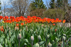 Tulip Garden. A flower bed of bright vibrant tulips Royalty Free Stock Photo