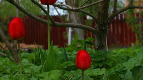 Tulip and garden green plants timelapse. Timelapse of a garden with tulip flowers, plants, trees and insects stock video footage