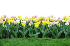 Tulip Garden Isolated. A garden of pastel colored tulips isolated on a white background, grass in front Royalty Free Stock Images