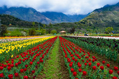 Tulip garden in Kashmir. Is spread over acres and showcases colorful blooming tulip flower beds in abundance during the spring season in India royalty free stock photos