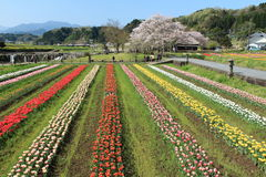 Tulip garden with  at Oita Japan. Tulip field in April, landscape of tulip festival Royalty Free Stock Images