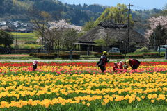 Tulip garden with  at Oita Japan. Tulip field in April, landscape of tulip festival Royalty Free Stock Photos