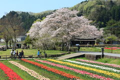 Tulip garden with  at Oita Japan. Tulip field in April, landscape of tulip festival Royalty Free Stock Photography