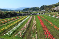 Tulip garden with  at Oita Japan. Tulip field in April, landscape of tulip festival Royalty Free Stock Image