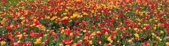 Tulip garden panorama Stock Image