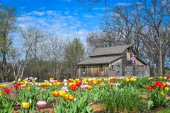 Tulip Garden with Patriotic Quilt Barn in Back - Beloit, WI. A beautiful tulip bulb flower garden with a patriotic quilt barn - wooden, rustic farm in the Stock Photography