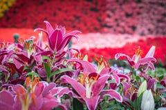 Tulip in the garden. Tulip purple in the garden Royalty Free Stock Photos