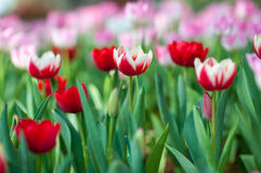 Tulip garden. Red-white tulip in the garden: closeup picture Royalty Free Stock Image