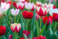 Tulip garden. Red-White Tulip flower in the garden, Thailand Stock Photography