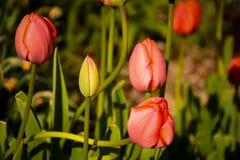 Tulip Garden roja Foto de archivo libre de regalías